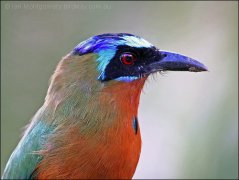 Blue-crowned Motmot (Momotus momota) by Ian