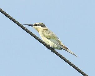 Olive Bee-eater (Merops superciliosus) by Bob-Nan