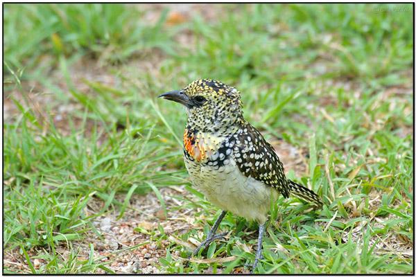 D'Arnaud's Barbet (Trachyphonus darnaudii) BirdingPix