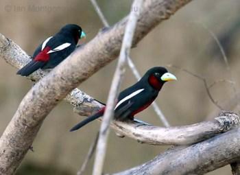 Black-and-red Broadbill (Cymbirhynchus macrorhynchos) by Ian