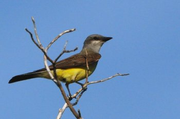 Western Kingbird (Tyrannus verticalis) Neal Addy Gallery