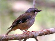 Grey-headed Robin (Heteromyias cinereifrons) by Ian