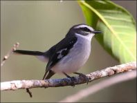 White-browed Robin (Poecilodryas superciliosa) by Ian