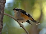 Buff-sided Robin (Poecilodryas cerviniventris) by Ian
