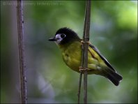 White-faced Robin (Tregellasia leucops) by Ian