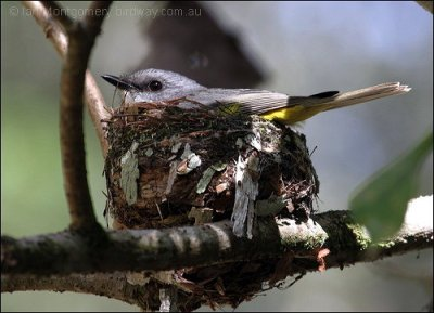 Eastern Yellow Robin (Eopsaltria australis) on nest by Ian
