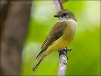 Yellow-bellied Flyrobin (Microeca flavigaster) by Ian