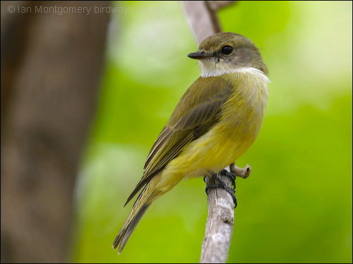Yellow-bellied Flyrobin (Microeca flavigaster) by Ian