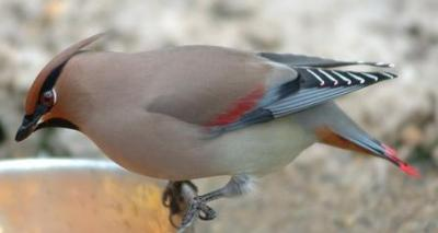 Japanese Waxwing (Bombycilla japonica) ©Wikipedia
