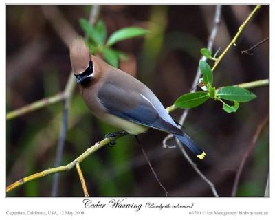 Cedar Waxwing (Bombycilla cedrorum) by Ian