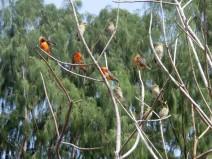 Red Fody (Foudia madagascariensis) by Bob-Nan