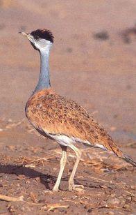 Nubian Bustard (Neotis nuba) ©WikiC