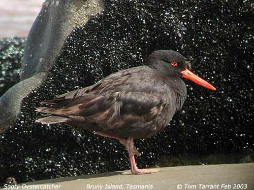 Sooty Oystercatcher (Haematopus fuliginosus fuliginosus) by Tom Tarrant