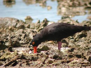Sooty Oystercatcher (Haematopus fuliginosus opthalmicus) by Tom Tarrant