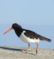 South Island Oystercatcher (Haematopus finschi) WikiC