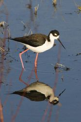 Black-necked Stilt (Himantopus mexicanus mexicanus) WikiC