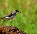 Solitary Sandpiper (Tringa solitaria) by Dario Sanches