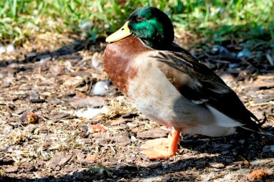 Mallard (Anas platyrhynchos) at Lake Parker By Dan'sPix