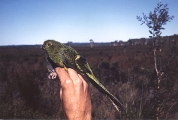 Eastern Ground Parrot (Pezoporus wallicus) WikiC
