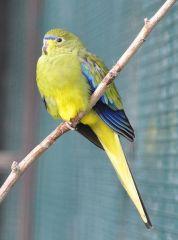 Elegant Parrot (Neophema elegans) WikiC