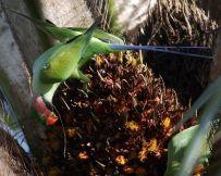 Long-tailed Parakeet (Psittacula longicauda longicauda) WikiC