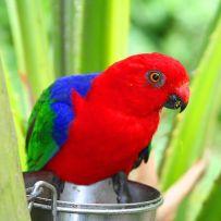 Moluccan King Parrot (Alisterus amboinensis) ©WikiC - Brevard_Zoo