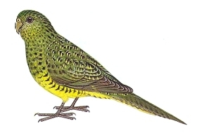 Night Parrot (Pezoporus occidentalis) Drawing WikiC