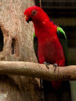 Papuan King Parrot (Alisterus chloropterus) WikiC