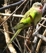 Princess Parrot (Polytelis alexandrae) WikiC