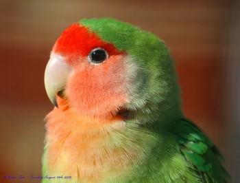 Rosy-faced Lovebird (Agapornis roseicollis catumbella) ©© law_keven