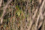 Western Ground Parrot (Pezoporus flaviventris) WikiC