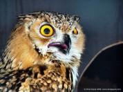 Pharaoh Eagle-Owl (Bubo ascalaphus) ©©