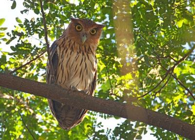 Philippine Eagle-Owl (Bubo philippensis) by Bob Kaufman
