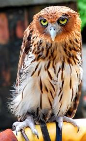 Philippine Eagle-Owl (Bubo philippensis) ©© uckhet