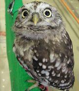 Sunda Scops Owl (Otus lempiji) ©WikiC