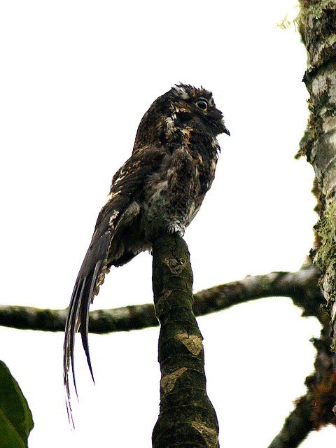 Andean Potoo (Nyctibius maculosus) ©©