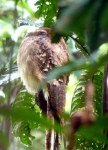 Long-tailed Potoo (Nyctibius aethereus)©©dermoidhome