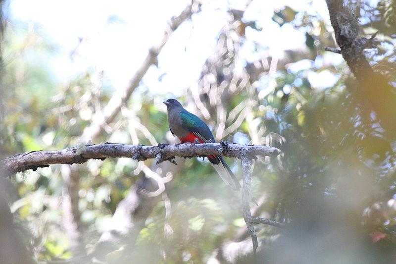 Eared Quetzal (Euptilotis neoxenus) ©WikiC