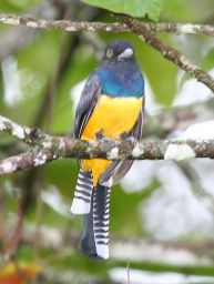 Gartered Trogon (Trogon caligatus) ©WikiC