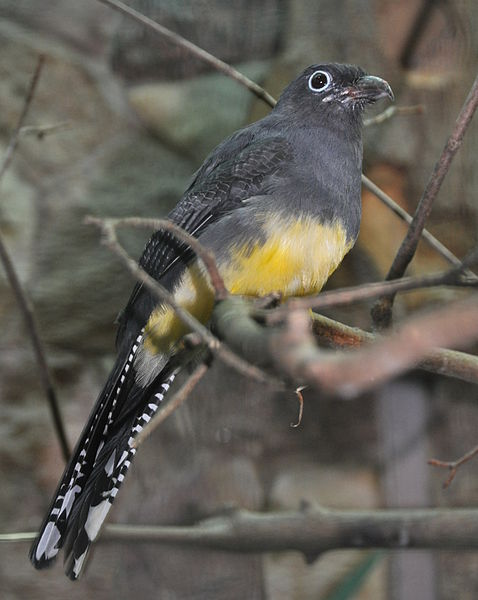 Green-backed Trogon (Trogon viridis) Female ©WikiC