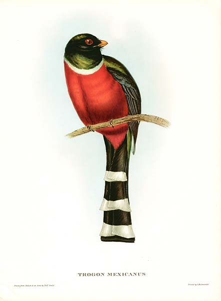 Mountain Trogon (Trogon mexicanus) Drawing ©WikiC