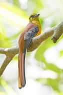 Orange-breasted Trogon (Harpactes oreskios) ©WikiC