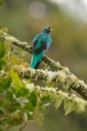 Pavonine Quetzal (Pharomachrus pavoninus) by Reinier Munguia