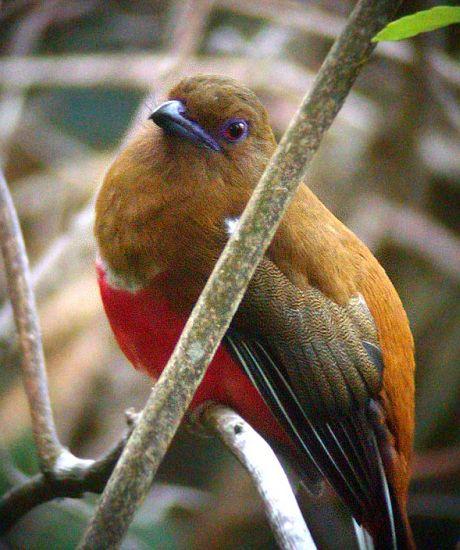 Red-headed Trogon (Harpactes erythrocephalus chaseni) - Female by Peter Ericsson
