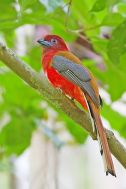Red-headed Trogon (Harpactes erythrocephalus) ©WikiC