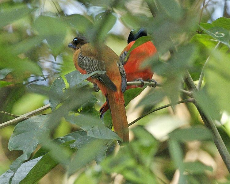 Scarlet-rumped Trogon (Harpactes duvaucelii) ©WikiC