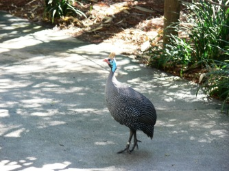 Helmeted Guineafowl (Numida meleagris reichenowi) and another by Lee