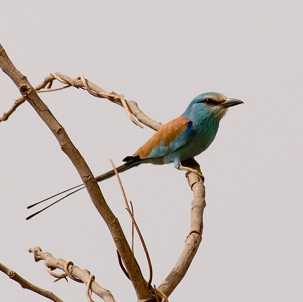 Abyssinian Roller (Coracias abyssinicus) ©WikiC