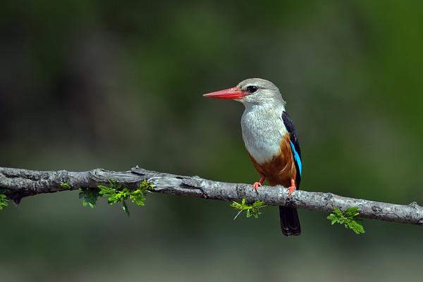 Grey-headed Kingfisher (Halcyon leucocephala leucocephala) by Africaddic