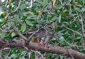 African Finfoot (Podica senegalensis) Wikipedia